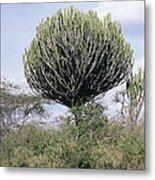 Euphorbia Candelabrum Metal Print