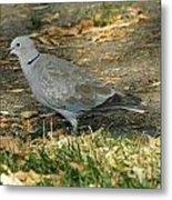 Eurasian Dove Metal Print