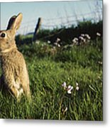 European Rabbit In A Meadow Metal Print