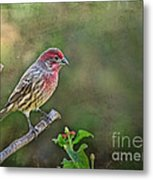 Evening Finch Blank Greeting Card Metal Print