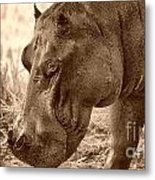 Evening Hippo Walk Metal Print