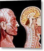 Facial Muscles And Internal Structure Of The Head Metal Print