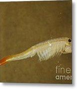 Fairy Shrimp Thamnocephalus Platyrus Metal Print
