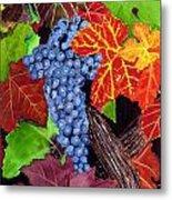Fall Cabernet Sauvignon Grapes Metal Print