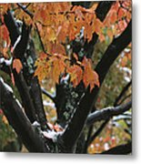 Fall Foliage Of Maple Tree After An Metal Print by Tim Laman