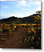 Fall In A Sonoma Vineyard Metal Print