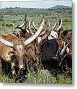 Fantastically Long-horned Ankole Cattle Metal Print