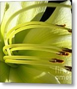Favorite White Lily Metal Print