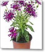 Favourite Violet Indoor Flower Metal Print