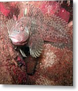 Feather Blenny Female Metal Print