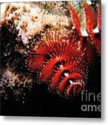 Feather Duster Feeding 2 Metal Print
