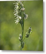 Feathery Reed Canary Grass Vignette Metal Print