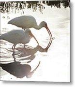 Feeding White Ibis Metal Print