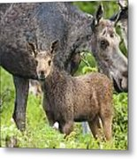Female And A Three Weeks Old Moose Metal Print