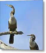 Female Anhingas Metal Print