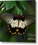 Female Asian Swallowtail Butterfly Metal Print