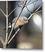 Female Bluebird Metal Print