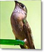 Female Calliope Hummingbird Metal Print