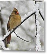 Female Cardinal 3656 Metal Print
