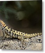 Female Desert Spiny Lizard  Metal Print