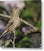 Female Finch Metal Print