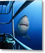 Female Great White And Underwater Metal Print