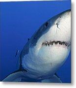 Female Great White Shark, Guadalupe Metal Print