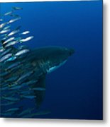 Female Great White Shark With A School Metal Print