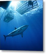 Female Great White With Cages Metal Print