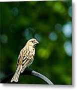 Female House Finch Perched Metal Print