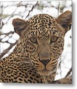 Female Leopard Close-up Metal Print