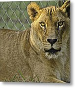 Female Lion Metal Print