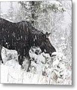 Female Moose In Snowy Forest, Gaspesie Metal Print