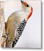 Female Red-bellied Woodpecker 2 Metal Print