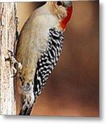 Female Red-bellied Woodpecker 5 Metal Print