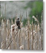 Female Redwinged Blackbird Metal Print