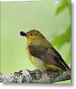 Female Summer Tanager Metal Print