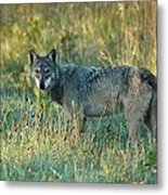 Femle Gray Wolf In The Morning Light Metal Print