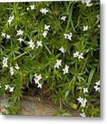 Field Madder (sherardia Arvensis) Flowers Metal Print