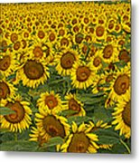 Field Of Domestic Sunflowers Metal Print by Kenneth M Highfill and Photo Researchers