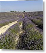 Field Of Lavender. Valensole. Provence Metal Print