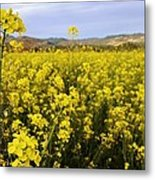 Field Of Mustard Flowers Metal Print
