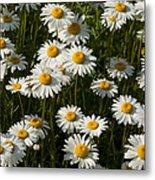 Field Of Oxeye Daisy Wildflowers Metal Print