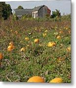 Field Of Pumpkins Metal Print