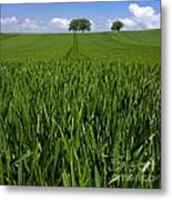 Field Of Wheat. Auvergne. France. Europe Metal Print