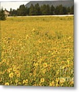 Field Of Yellow Daisy's Metal Print