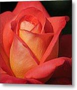 Fiery Color Rose Metal Print