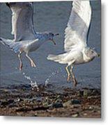 Fighting Gulls Metal Print