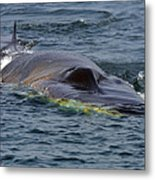 Fin Whale Charging Metal Print