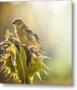 Finch Aglow Metal Print